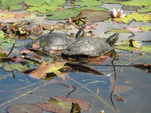 Wildes Berlin, Wasserschildkröten im Schlosspark Charlottenburg